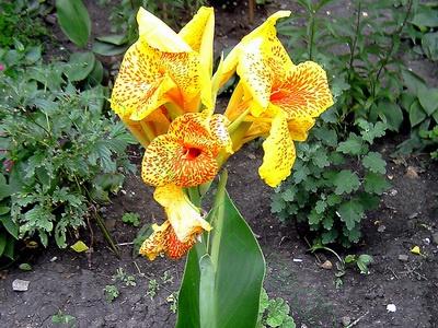 Цветы и клумбы: Канна Крымская ривьера