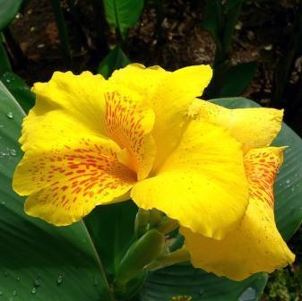 Цветы и клумбы: Канна Солнечная красавица