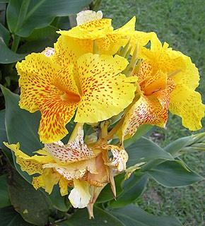 Цветы и клумбы: Канна индийская