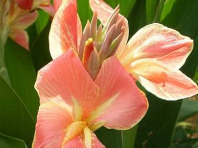 Цветы и клумбы: Канна Золотой петух