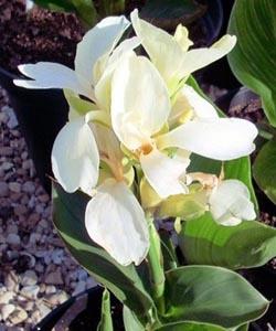 Цветы и клумбы: Канна белая