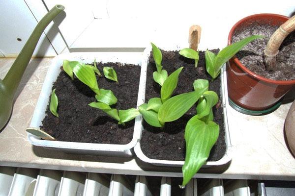 Цветы и клумбы: Выращивание канны дома