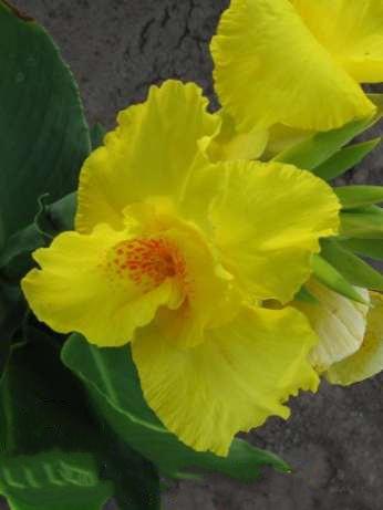 Цветы и клумбы: Канна Ричард Уоллас