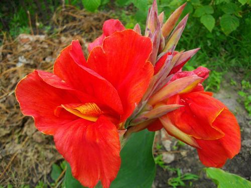 Цветы и клумбы: Канна Миссис Оклахома