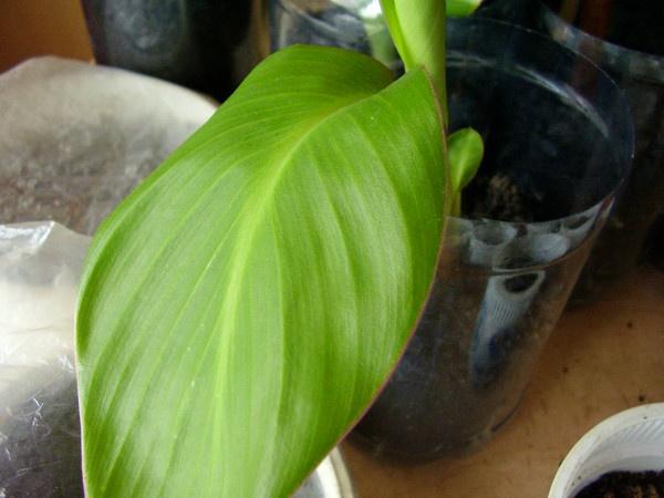 Цветы и клумбы: Пророщенная канна