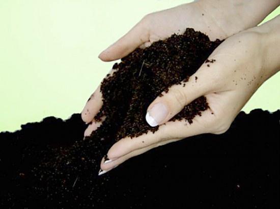 Цветы и клумбы: Проращивание канны в земле
