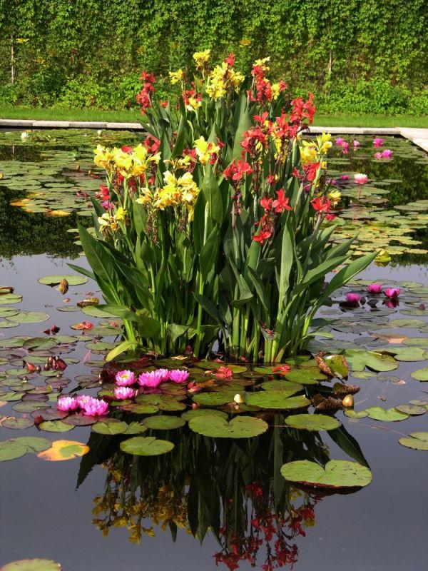 Цветы и клумбы: Выращивание канны в бассейне