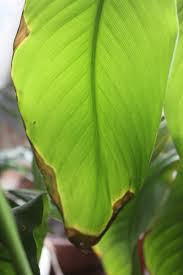 Цветы и клумбы: Листья канны желтые