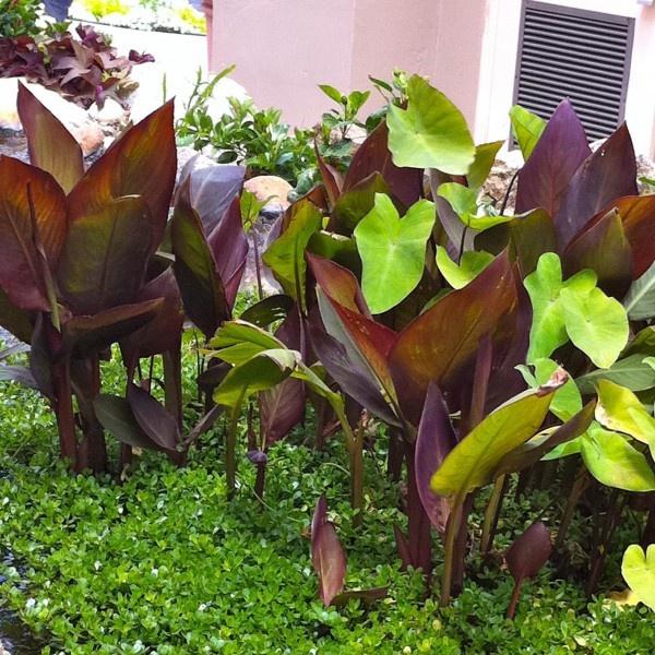 Цветы и клумбы: Листья канны