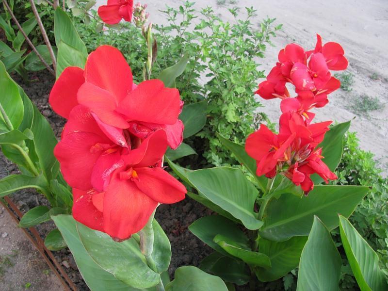 Цветы и клумбы: Канны цветут