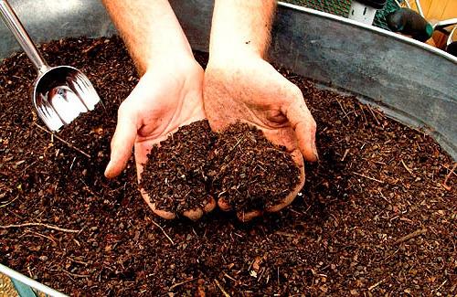 Цветы и клумбы: Органические удобрения для канны
