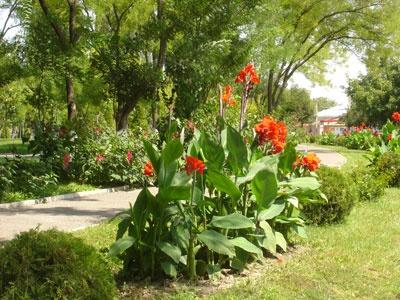 Цветы и клумбы: Посадка канн