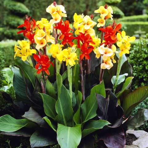 Цветы и клумбы: Канны в саду