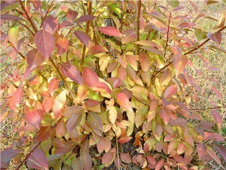 Декоративные растения: Форзиция осенью