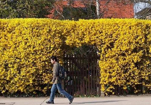 Декоративные растения: Сад: Квадратная форма форзиции