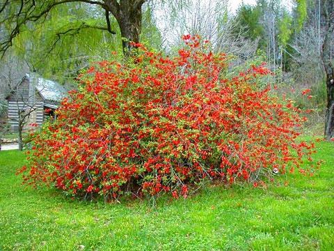 Декоративные растения: Сад: Форзиция без обрезки