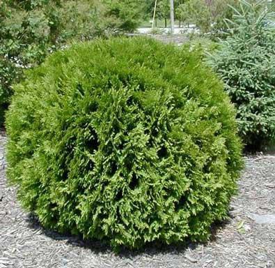 Декоративные растения: Сад: Форзиция летом