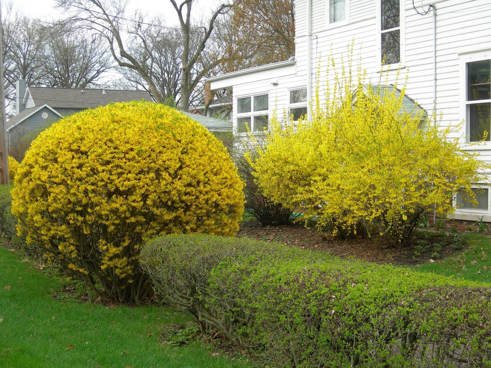 Декоративные растения: Сад: Форма форзиции