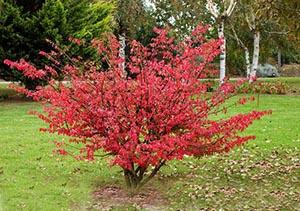 Декоративные растения: Сад: Форзиция осенью