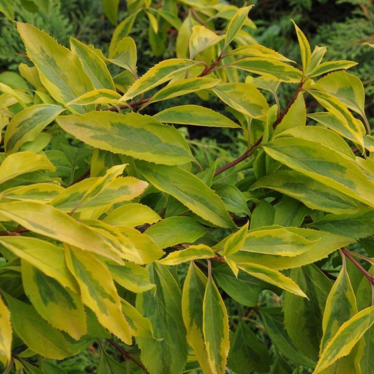 Декоративные растения: Сад: Листья форзиции
