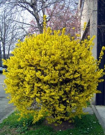 Декоративные растения: Сад: Цветение форзиции