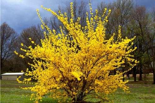 Декоративные растения: Сад: Когда цветет форзиция