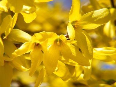 Декоративные растения: Цветение форзиции