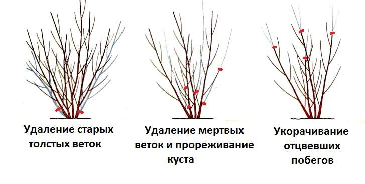 Декоративные растения: Правильная обрезка форзиции