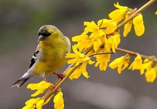 Декоративные растения: Сад: Птица для форзиции