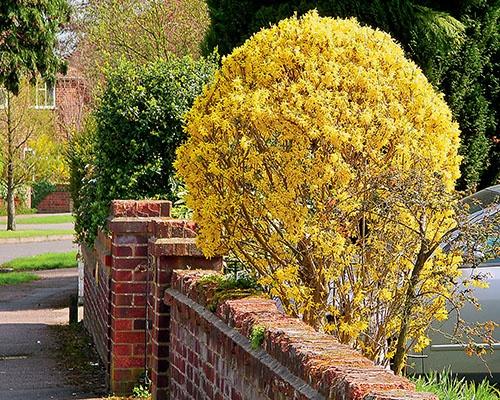 Декоративные растения: Сад: Форзиция