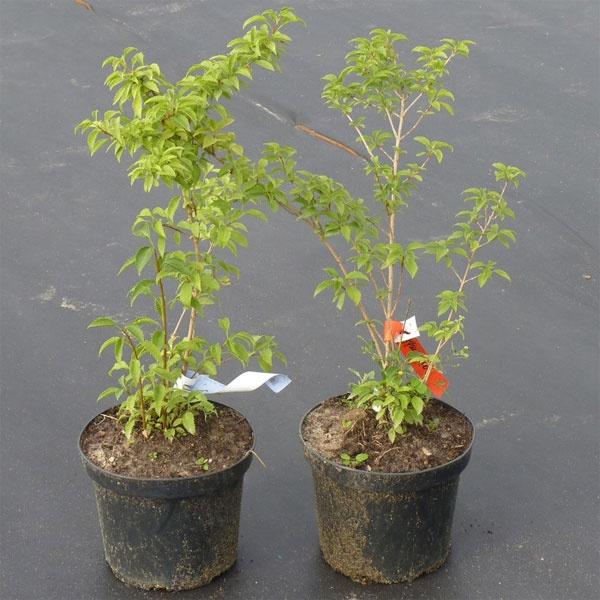 Декоративные растения: Посадка форзиции