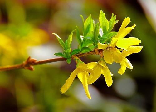 Декоративные растения: Здоровая форзиция