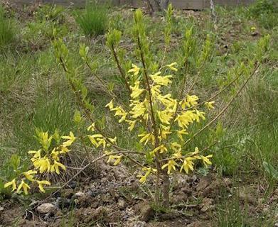 Декоративные растения: Размножение форзиции отводками
