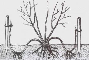 Декоративные растения: Схема размножения форзиции отводками