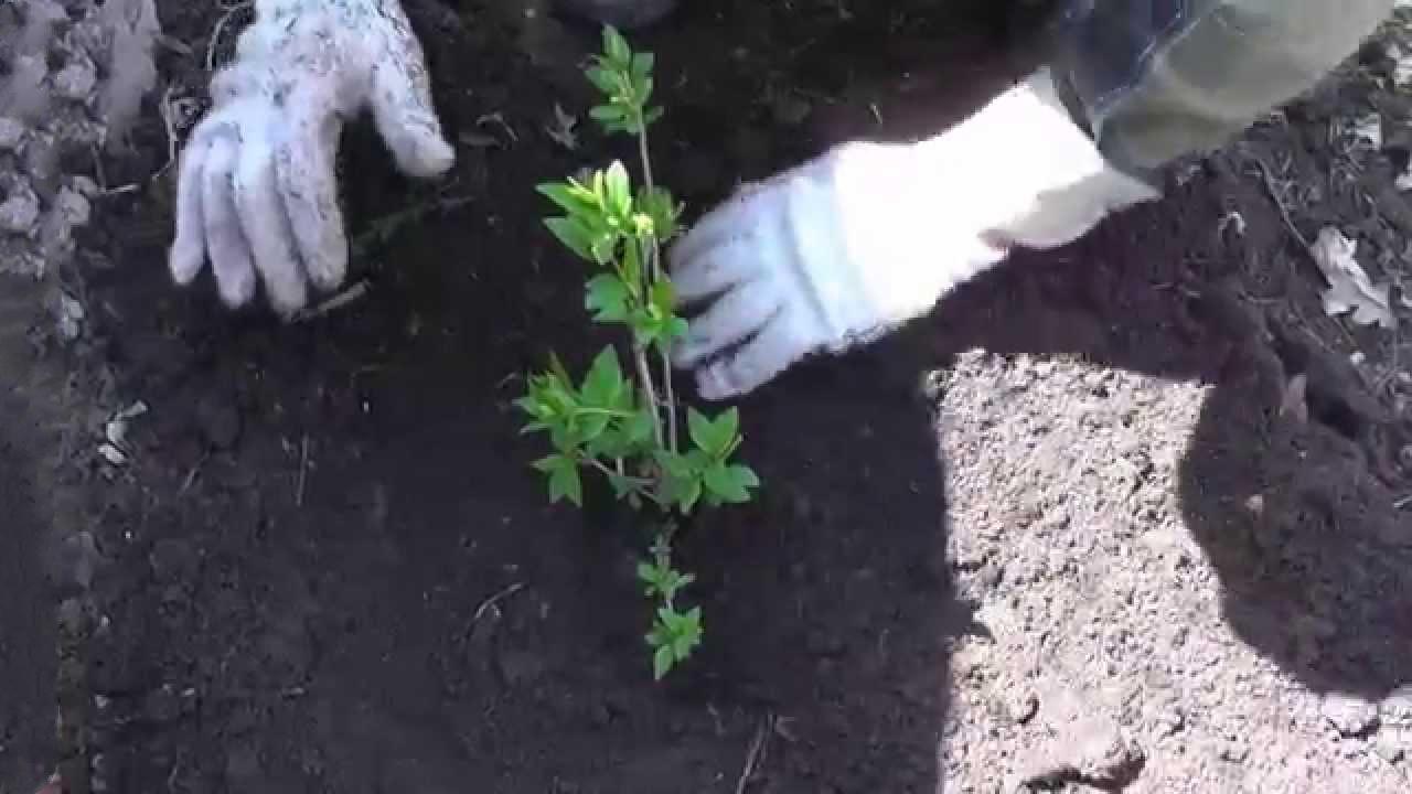 Сад: Посадка форзиции осенью
