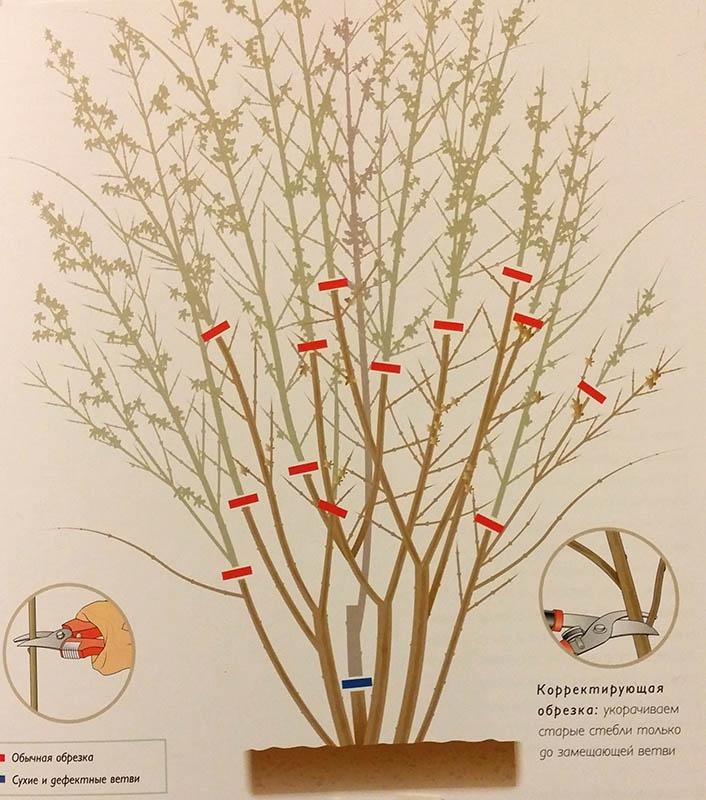 Сад: Обрезка форзиции