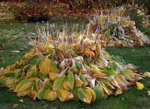 Сад: Подготовка форзиции к зиме