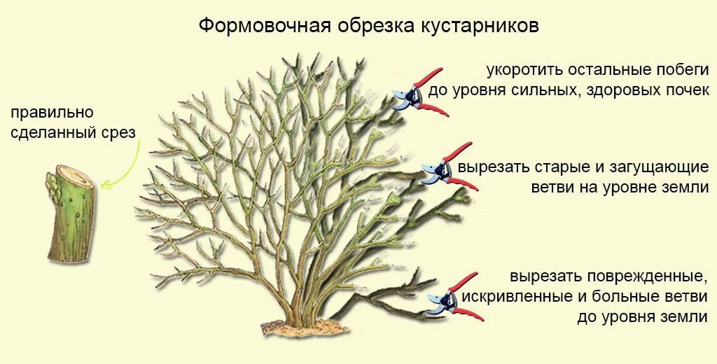Сад: Естественная формировка кроны форзиции