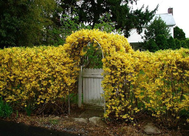 Сад: Живая изгородь из форзиции
