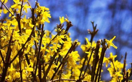 Сад: Как стричь форзицию