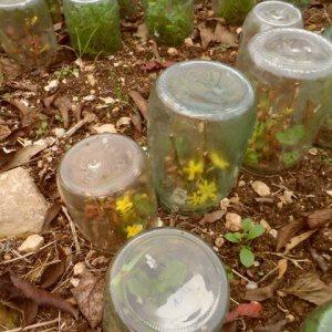 Сад: Защита от холодов для молодых черенков форзиции