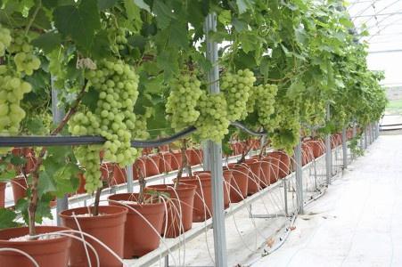 Техника и инструменты для дачи: Капельное орошение винограда