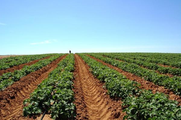 Техника и инструменты для дачи: Капельный полив картофеля на поле