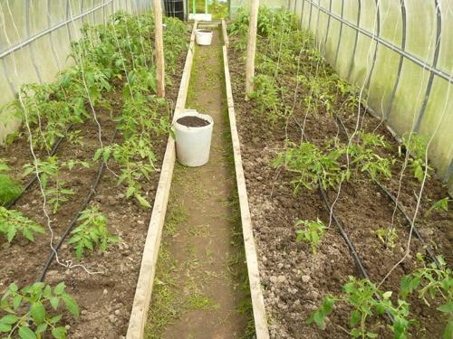 Техника и инструменты для дачи: Капельный полив помидоров в теплице