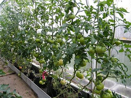 Техника и инструменты для дачи: Капельное орошение томатов