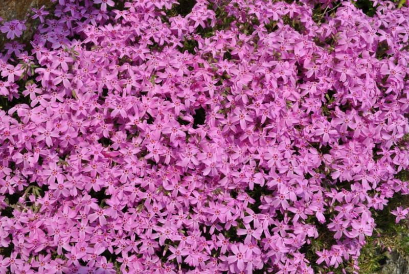Сад: Форзиция розовая