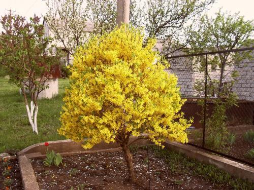 Сад: Форзиция желтая