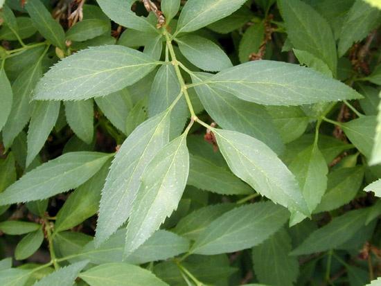 Сад: Форзиция темно-зеленая