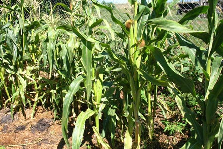Техника и инструменты для дачи: Нормы полива для кукурузы