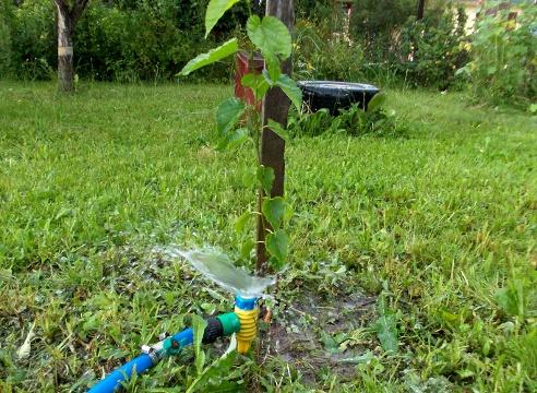 Сад: Как ухаживать за сливой